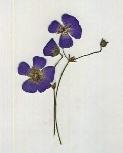 pressed violet