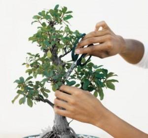 Bonsai-Pruning_2